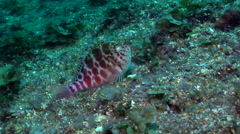Spotted hawkfish, Cirrhitichthys aprinus, HD, UP19810 Stock Footage