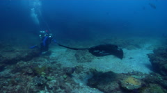 Cowtail stingray swimming on deep coral reef, Pastinachus sephen, HD, UP19830 Stock Footage