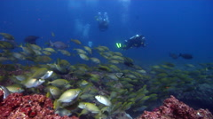 Group of scuba divers swimming on surge affected rocky reef with Dusky Stock Footage