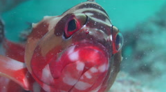 Black-tipped grouper, Epinephelus fasciatus, HD, UP19845 Stock Footage