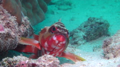 Black-tipped grouper, Epinephelus fasciatus, HD, UP19846 Stock Footage