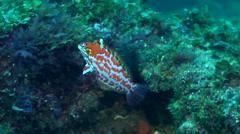 Choat's wrasse swimming, Macropharyngodon choati, HD, UP19812 Stock Footage
