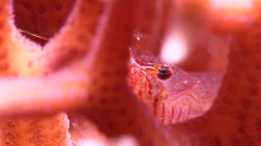 Coral glass shrimp on hard coral microhabitat at night, Periclimenes tenuipes Stock Footage