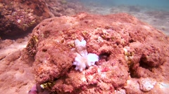 Cyane's octopus changing its color completely come out of his cave Stock Footage