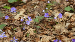 Spring flowers (Hepatica nobilis) om forest ground close-up fly over Stock Footage