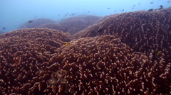 Fire coral, Millepora sp., HD, UP19902 Stock Footage