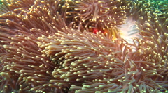 Magnificent sea anemone swaying, Heteractis magnifica, HD, UP19905 Stock Footage