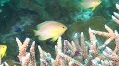 Adults and juveniles Ambon damsel feeding and schooling, Pomacentrus Stock Footage