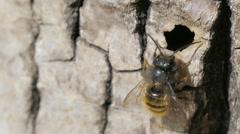 Macro Shot Wild Bee Osmia Bicornis Stock Footage