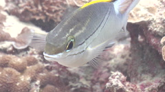 Bridled monocle bream hovering, Scolopsis bilineata, HD, UP19935 Stock Footage