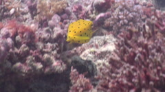 Juvenile Yellow boxfish swimming, Ostracion cubicus, HD, UP19940 Stock Footage