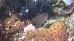 Black and white crinoid swimming, Stephanomitra echinus, HD, UP30451 Stock Footage
