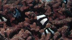 Humbug swimming, Dascyllus aruanus, HD, UP19949 Stock Footage