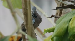 Spotted dove resting on the tree branch Stock Footage