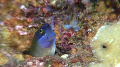 Eyespot coralblenny looking around, Ecsenius ops, HD, UP30948 Stock Footage