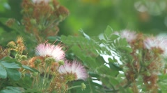 Pink red powderpuff flower shaking with wind Stock Footage