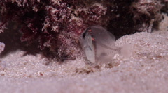 Larval Surgeonfish at night, Unidentified Species, HD, UP19961 Stock Footage