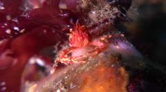 Clown crab feeding, Neomunida olivarae, HD, UP30640 Stock Footage