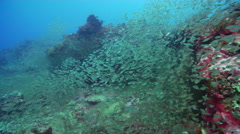 Slender cardinalfish swimming and schooling on deep coral reef, Rhabdamia Stock Footage