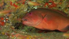 Coral trout hiding, Plectropomus leopardus, HD, UP19995 Stock Footage