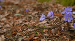 Spring flower Anemone hepatica macro slider shot Stock Footage