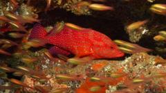 Coral cod hiding, Cephalopholis miniata, HD, UP20001 Stock Footage