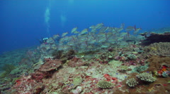 Yellow-banded snapper swimming and schooling on deep coral reef, Lutjanus Stock Footage