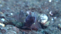 Metallic shrimpgoby flicking tail to warn/encourage shrimp on black sand slope - stock footage
