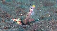 Filament-finned shrimpgoby keeping lookout on black sand slope and muck, Stock Footage
