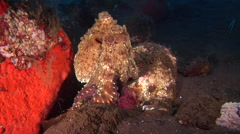 Common reef octopus breathing on cleaning station, Octopus cyanea, HD, UP30349 Stock Footage