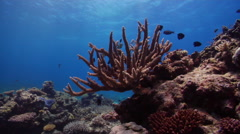 Mixed hard coral garden on shallow coral reef, Acropora spp., HD, UP20015 Stock Footage