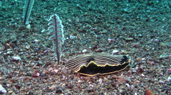Blackface yellow stripe slug hunting on black sand, Armina magna, HD, UP30574 Stock Footage