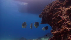 Blunthead batfish swimming and schooling on shallow coral reef, Platax teira, Stock Footage