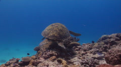 Green turtle swimming on shallow coral reef, Chelonia mydas, HD, UP20034 Stock Footage