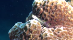 Banda coralblenny looking around on hard coral microhabitat, Ecsenius bandanus, Stock Footage