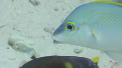 Feeding in recent anchor disturbed sand, underwater, Monocle bream, HD, UP20042 Stock Footage