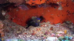 Yellow-mouth eel cleaning and being cleaned in cavern, Gymnothorax nudivomer, Stock Footage