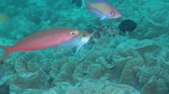 Hutomo's anthias swimming on silty inshore reef, Pseudanthias hutomoi, HD, Stock Footage