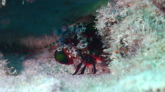 Peacock smasher mantis shrimp walking, Odontodactylus scyllarus, HD, UP20056 Stock Footage