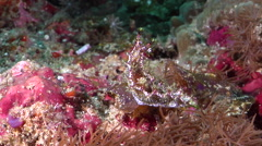 Unidentified mosaic slug sniffing, Marionia sp., HD, UP30796 Stock Footage
