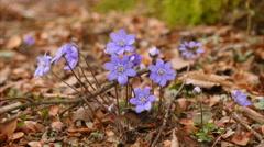 Spring flower Anemone hepatica macro slider shot II Stock Footage