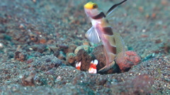 Randall's goby shrimp housekeeping on black sand slope and muck, Alpheus Stock Footage