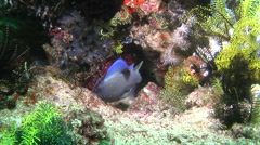 Juvenile Bluestriped triggerfish hiding, Pseudobalistes fuscus, HD, UP30433 Stock Footage