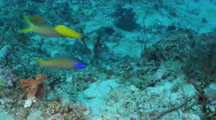 Bluehead tilefish swimming on deep coral rubble, Hoplolatilus starcki, HD, Stock Footage