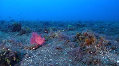 Weedy scorpionfish on black sand slope and muck, Rhinopias frondosa, HD, UP30119 Stock Footage