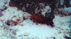 Peacock smasher mantis shrimp running, Odontodactylus scyllarus, HD, UP20073 Stock Footage