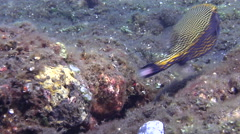Spotted boxfish swimming on black sand slope and muck, Ostracion meleagris, HD, Stock Footage