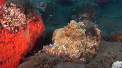 Common reef octopus breathing on cleaning station, Octopus cyanea, HD, UP30328 Stock Footage