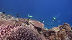 Distant scuba diver swimming on shallow coral reef in Australia, HD, UP20078 Stock Footage