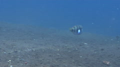 Whitepatch razorfish swimming on black sand slope and muck, Iniistius Stock Footage
